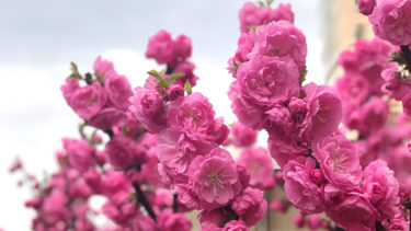 中国の国花は?